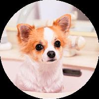 チワワにおすすめのペット保険