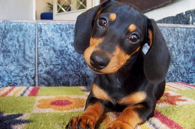 犬の耳掃除のコツ