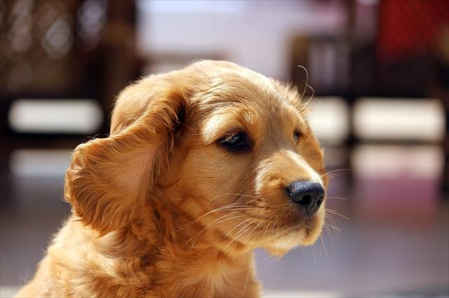 犬の耳掃除をする理由は病気の予防