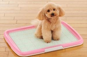 成犬のトイレトレーニング