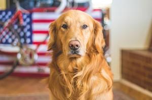 吠えない犬 ゴールデンレトリーバー
