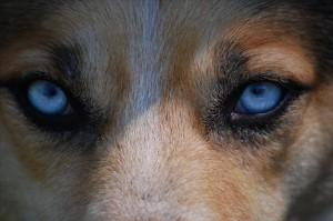 犬の角膜炎の症状
