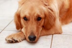 ゴールデンレトリーバーは脱臼しやすい犬種です