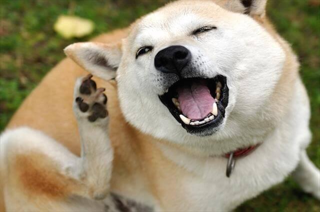 犬のフケの原因はシャンプーや乾燥