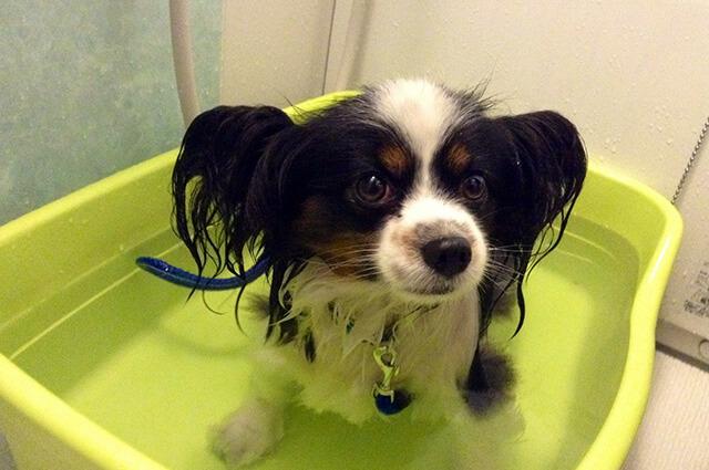 シャンプー嫌いが直らない犬対策