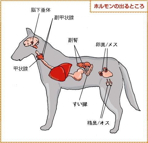 犬の副腎の場所